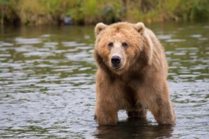 brown bear on a body of water
